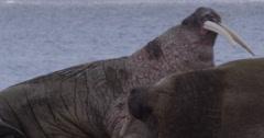 Walruses lazing on beach Stock Footage