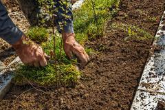 Editing yard -Planting grass Stock Photos