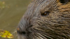 Cute wild furry coypus (river rat, nutria) eating bread on the riverside Stock Footage