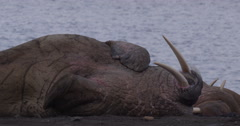 Atlantic walrus rolls over on arctic beach Stock Footage
