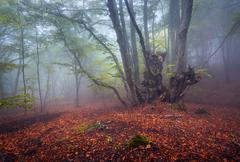 Trail through a mysterious dark old forest in fog. Autumn - stock photo