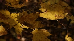 Yellow fall leaves on tree in dappled sunligh - stock footage
