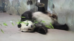 A Cute Panda at a National Zoo in DC - stock footage