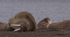 Walrus on Arctic Beach Looks at Camera Stock Footage