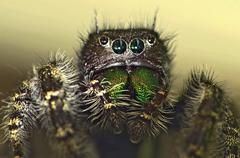 Jumping Spider Macro Stock Photos