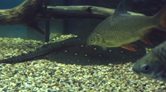 Carassius and ocellate river stingray - stock footage