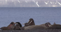 Atlantic Walruses Slap Each Other With Flippers on Beach Stock Footage