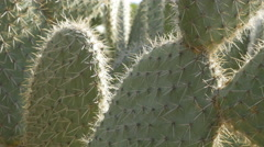Sunlit cactus. Botanical gardens in Palermo, Sicily, Italy. Stock Footage