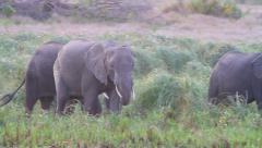 Wild Africa: A Herd of Elephants Roams Across the Grasslands Stock Footage