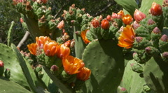 Flowering cactus. Botanical gardens in Palermo, Sicily, Italy. Stock Footage