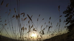 Sunset on a background of tall grass Stock Footage