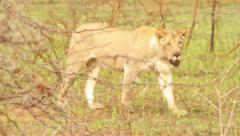 Wild Africa - Amazing Shot of Lion Emerging From Bushes Stock Footage