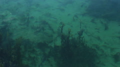 Seaweed beneath the surface of the water Stock Footage