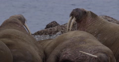 Slow motion - close pan on walruses - stock footage