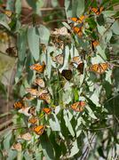 Monarch Butterflies (Danaus plexippus) - stock photo