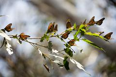 Stock Photo of Monarch Butterflies (Danaus plexippus)
