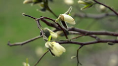 Magnolia blossoms Stock Footage