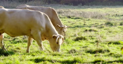 Grazing white cows in meadow autumn Stock Footage