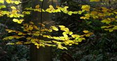 Autumn leaves beech tree sunny medium shot Stock Footage