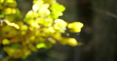Autumn leaves focussed shot Europe Stock Footage