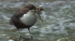 Dipper (Cinclus) standing in river with nesting material Stock Footage
