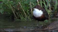 Dipper (Cinclus) standing on log in river dipping then flying off Stock Footage