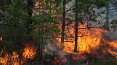 Close view of forest ground fire in young Scots pine forest. Stock Footage