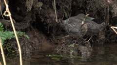 Dipper (Cinclus)  chicks (3) on mud bank at edge of river bobbing up and down Stock Footage