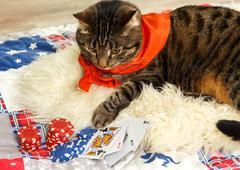 Cat plays poker Stock Photos
