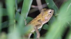 Eastern garden lizard Calotes versicolor, Thailand Stock Footage