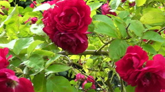 Red rose Bush trembled in the wind. - stock footage