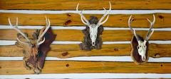 Deer head trophy collection on a wooden wall - stock photo