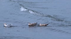 Common Gull and her juvenile chicks looking for food Stock Footage