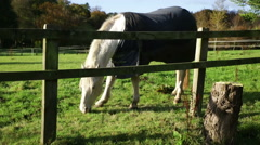 White horse with blanket grazing in fenced meadow close view Stock Footage