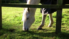 White horse with blanket grazing head & legs close view Stock Footage