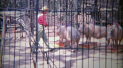 1963: Incredible pig circus show behind barbaric iron cage bars. Stock Footage