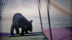 1963: Rare look at black and grizzly bears playing in same zoo habitat pool. Stock Footage