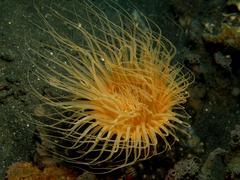 Yellow Sea anemone in Lembeh Sulawesi Indonesia - stock photo