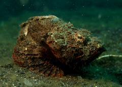 Scorpion fish in Lembeh Sulawesi Indonesia Stock Photos