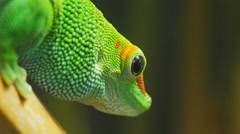 Madagascar giant day gecko close up Stock Footage