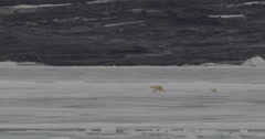 Mother polar bear and cub walk along sea  ice near shore in distance Arkistovideo