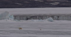 Skinny mother polar bear near cub on sea ice bobbing ship Stock Footage