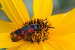 macro photography of Zygaena filipendulae on topinambur  flower - stock photo