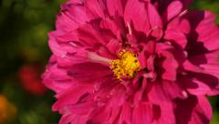 Cosmos bipinnatus Double Cranberry flower  carmine pink color shallow DOF 4K Stock Footage