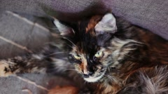 Group of cats and kitten Maine Coon. Little red and black kittens with mother Stock Footage