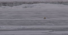 Polar bear nursing cub in sea ice near glacier in distance Stock Footage