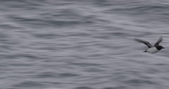 Close Tracking Guillemot flying over ocean Stock Footage