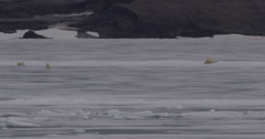 Polar bears on sea ice near rocky mountains with bear sliding on snow Stock Footage
