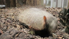 Screaming hairy armadillo Stock Footage