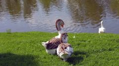 Geese resting on green grass in sunny day Stock Footage